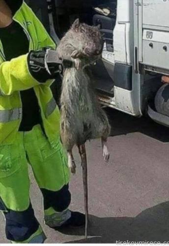 олкав глушец е фатен во канализацијата  во Гетеборг