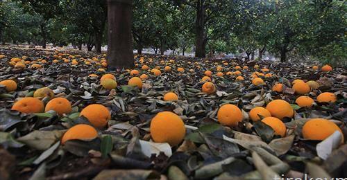 небрани портокали паднати на земја во Палестина