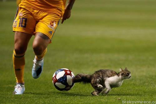 кој е побрз фудбалерот, топката или мачката
