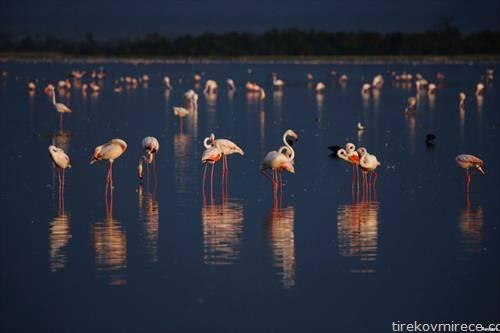 фламингоси на езеро во кенија