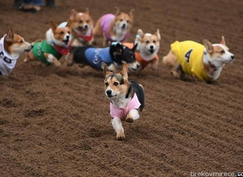 Трка на корги кучиња во  Јужна Калифорнија