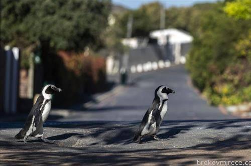 два пингвини во прошетка по кејп таун во ЈАР