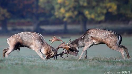 борба на елени во парк во Лондон