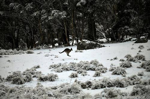 кенгур скока по снежна покривка во Австралија