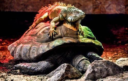 глетка од ЗОО во Лил  Франција зелена игуана врз џиновска желка