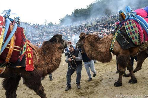 борби на камили во Турција