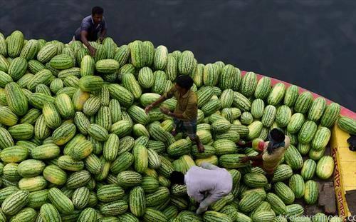лубениците во бангладеж созреаја