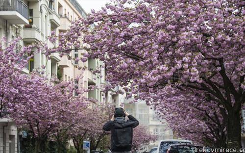 расцутени јапонски цреши во Берлин